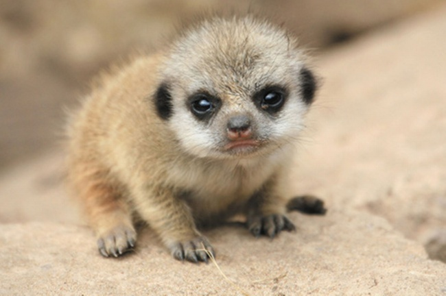 Cria de suricata