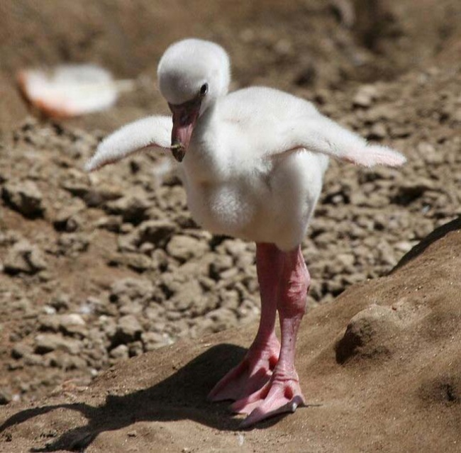 Polluelo de flamingo
