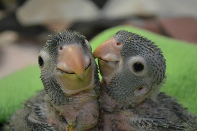 Polluelos de papagayo