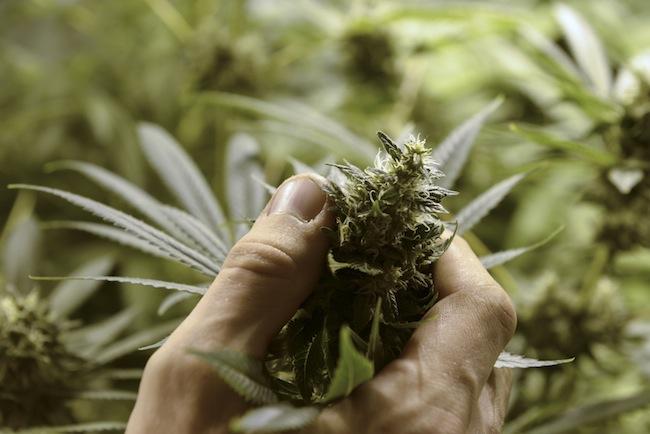 En esta fotografía de archivo del 18 de febrero de 2013, Juan Palese, un cultivador de marihuana, muestra su cosecha en las afueras de Montevideo, Uruguay. Las regulaciones del país para la hierba fueron dadas a conocer el viernes 2 de mayo de 2014. (Foto AP/Matilde Campodónico, archivo)