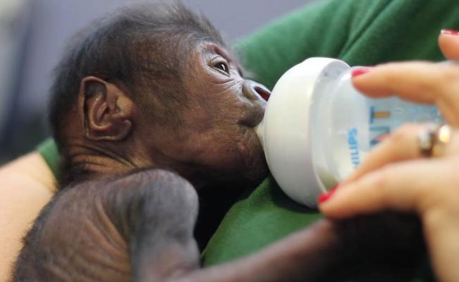 cesarea gorila