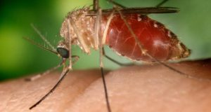 mosquito_np