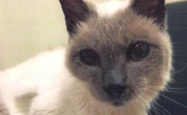 gato_siames_record