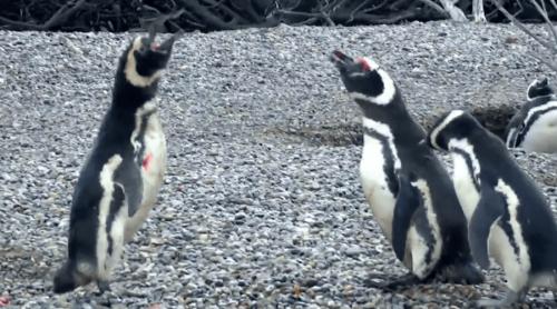 pinguinos-peleando-national-geographic