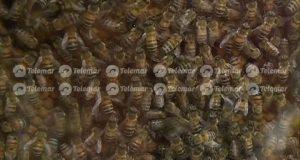 abejas reina